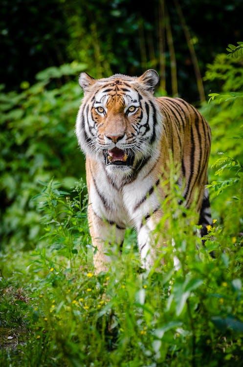 Tiger Walking on Green Plants During Daytime