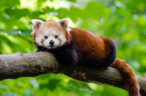 Základová fotografie zdarma na téma divočina, panda červená, roztomilý, větev