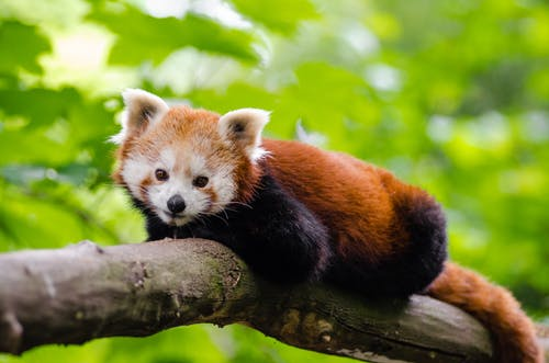 Red Panda on Brown Tree Trunk