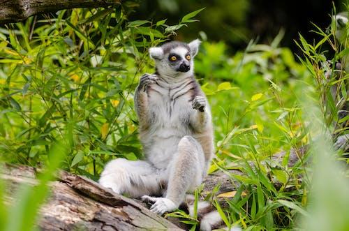 Základová fotografie zdarma na téma divočina, dřevo, kožešina, lemur