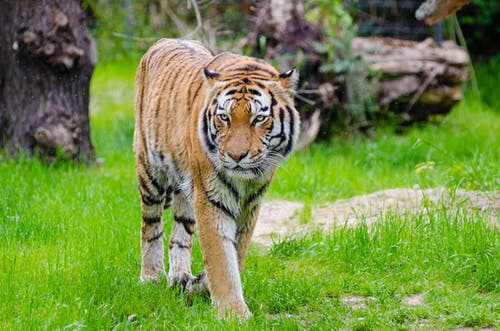 Orange and Black Bengal Tiger Walking on Green Grass Field during Daytime