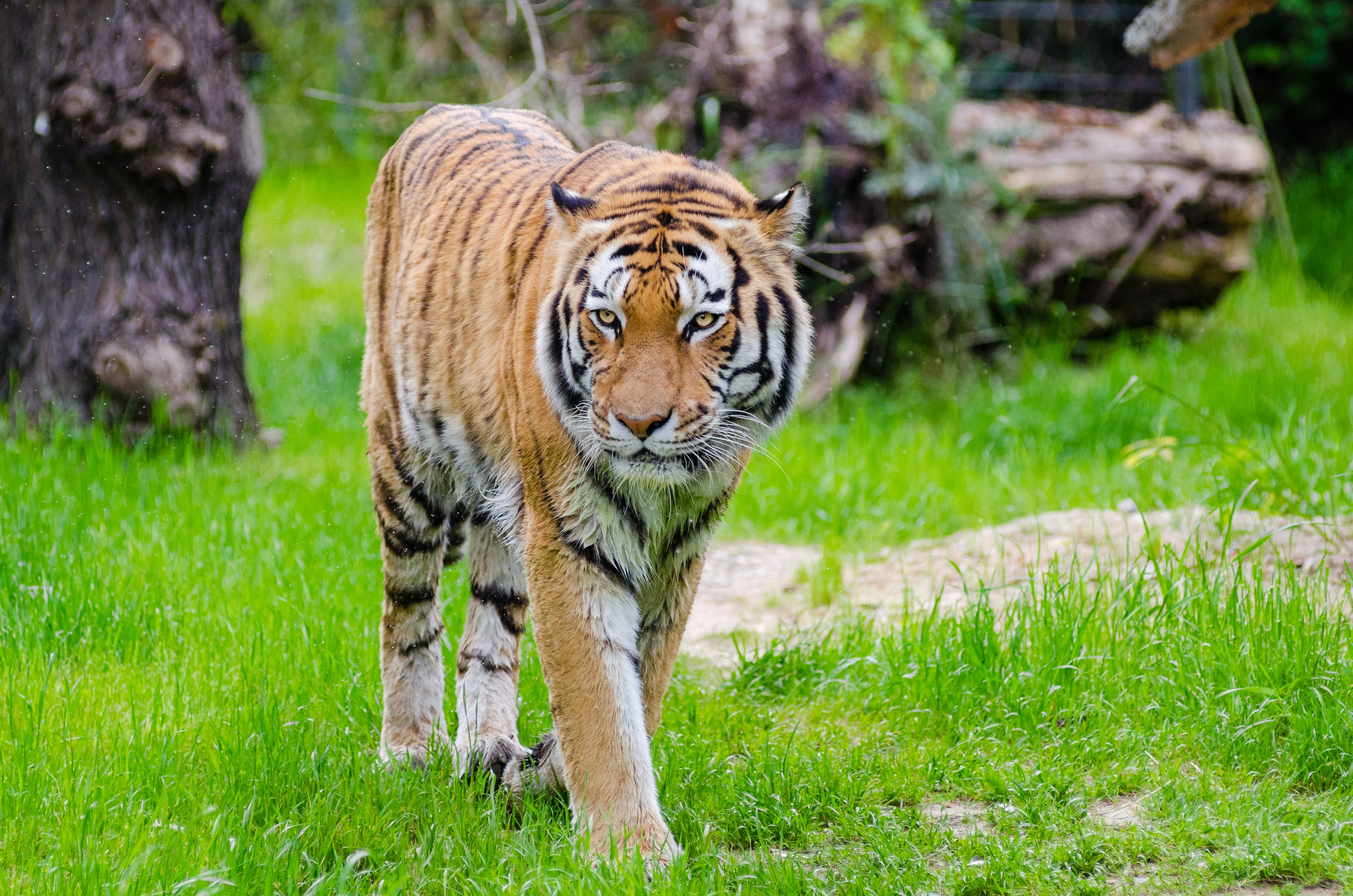 orange and black bengal tiger walking on green grass field during
