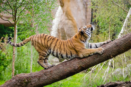 Tiger Stretching over Brown Trunk during Daytime