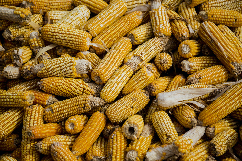 Bunch of Corn Cob