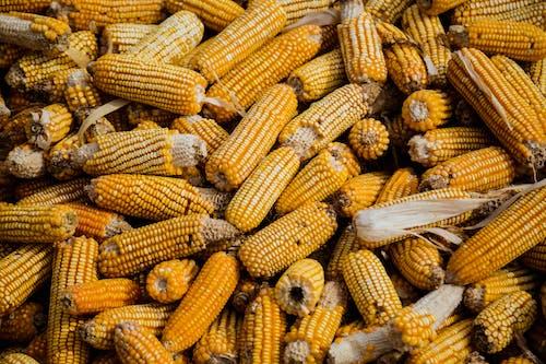 Imagine de stoc gratuită din abundență, agricultură, culturi, galben