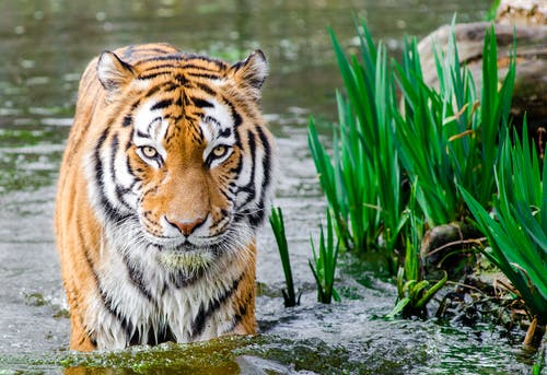 Bengal Tiger Half Soak Body on Water during Daytime