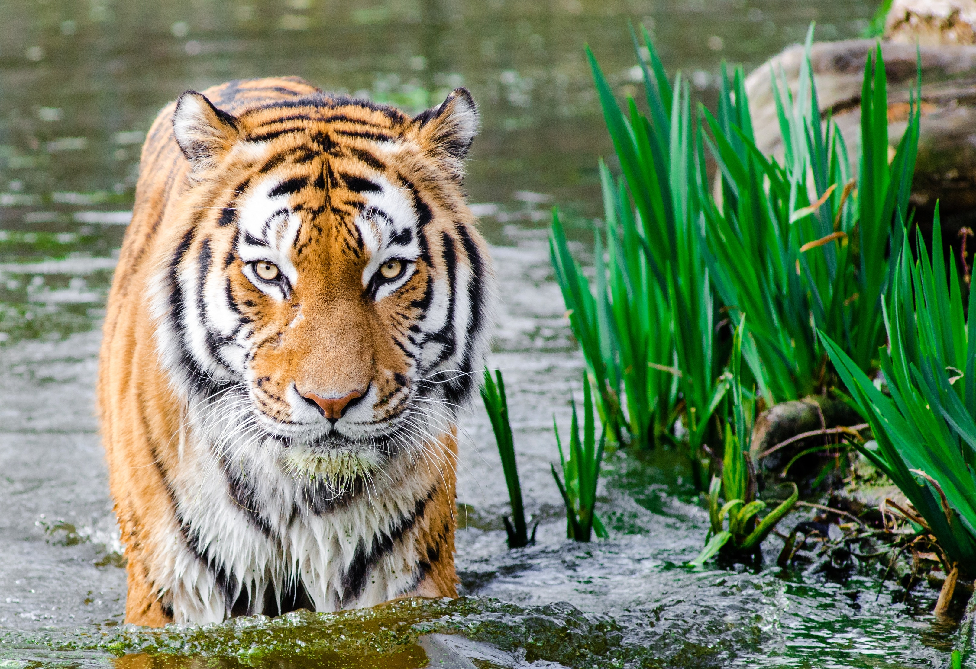 Bengal Tiger Half Soak Body on Water during Daytime by Flickr