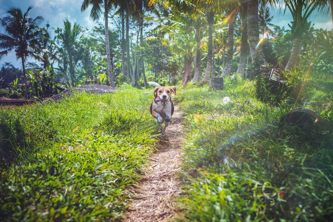 Beagle Running Between Grasses