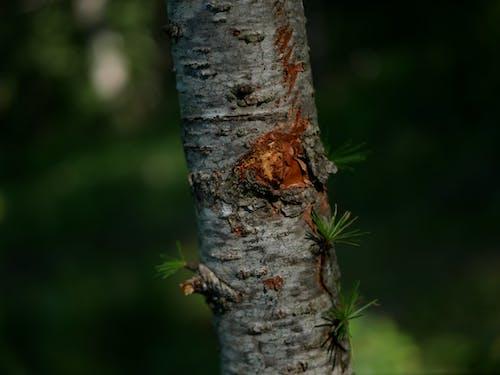 Gratis lagerfoto af fyrretræ, grøn, mørk, natur