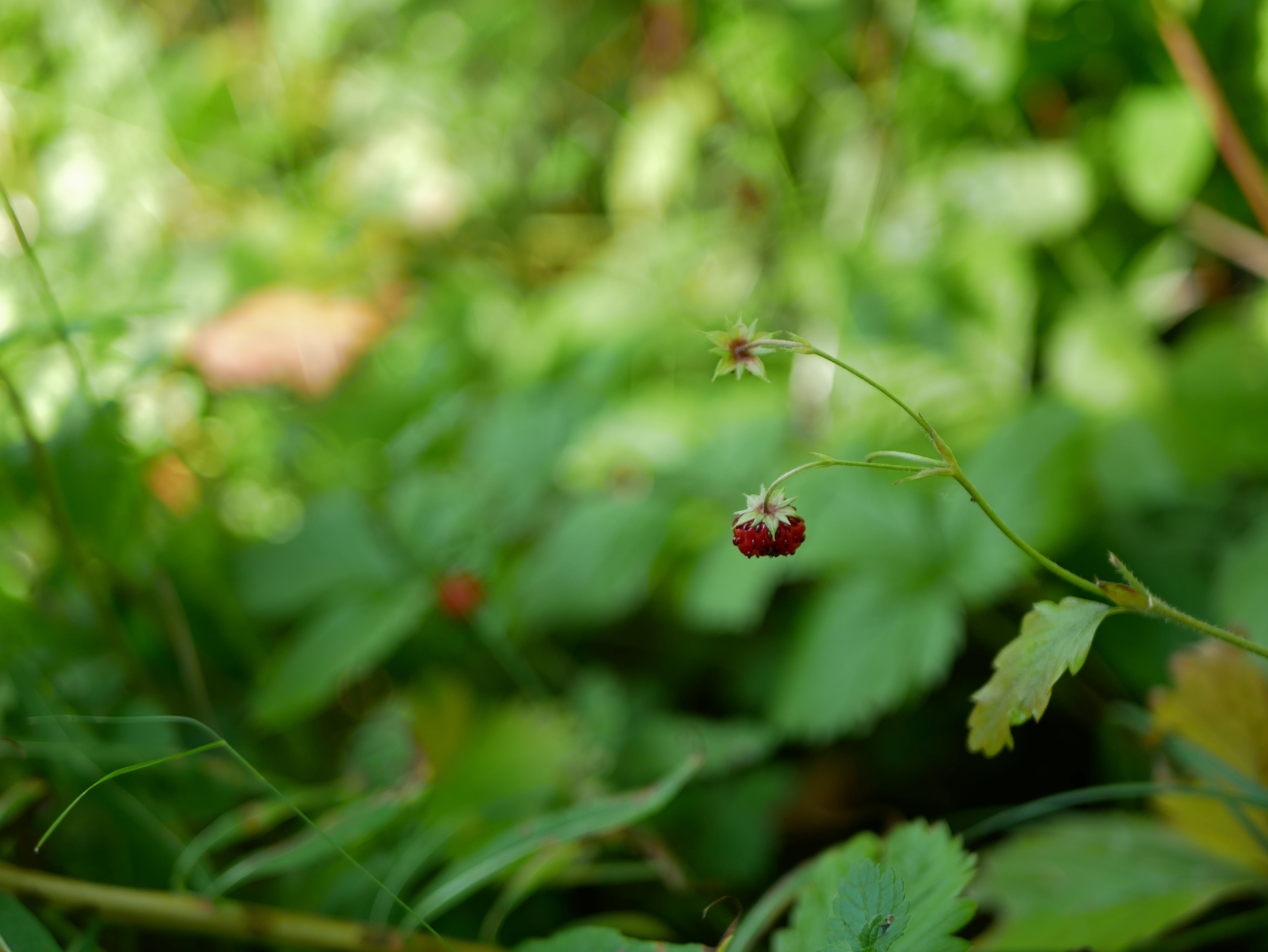 Free stock photo of forest, green, nature, strawberries