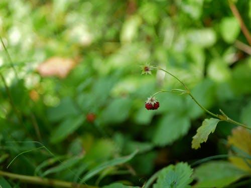 Gratis lagerfoto af grøn, jordbær, natur, skov