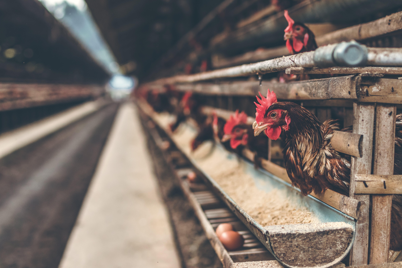 Rooster in Brown Wooden Coop