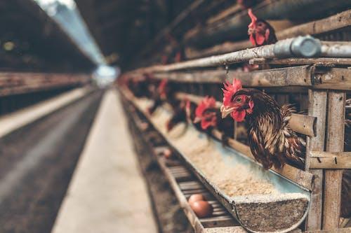 Ilmainen kuvapankkikuva tunnisteilla eläimet, kanat, koti, lähikuva