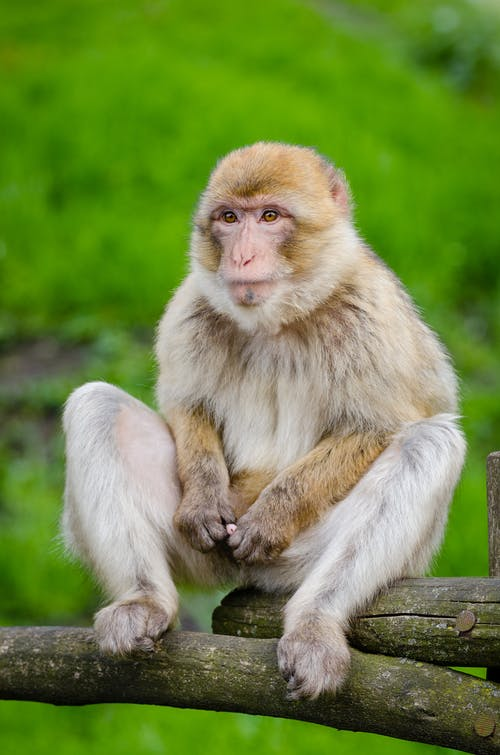 White and Beige Monkey