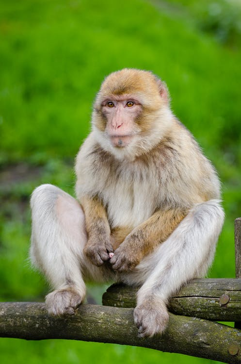 White and Beige Monkey