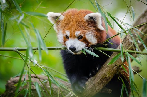 Red Panda on Tree Branch