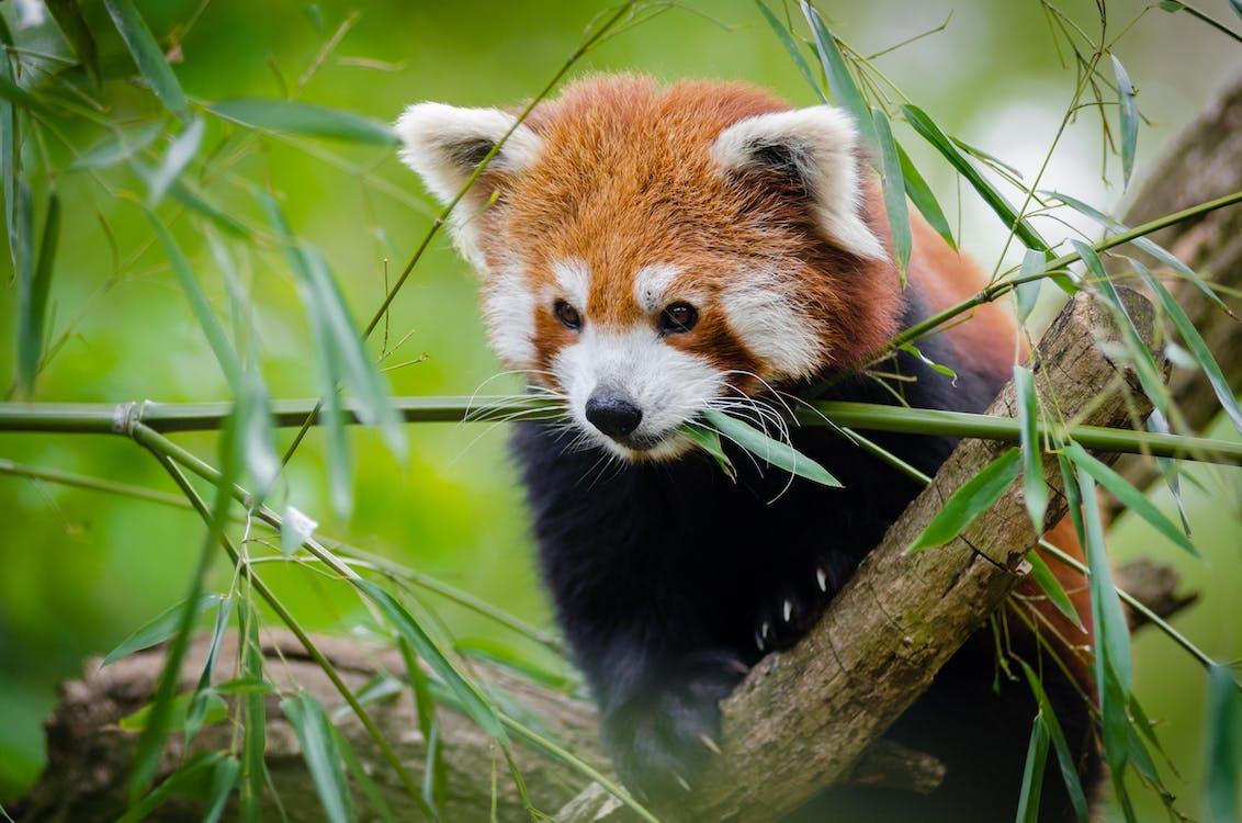 divočina, panda červená, roztomilý