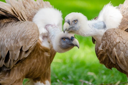 Brown and White Vultures Standing on Grass Field in Close Up Photography during Daytime