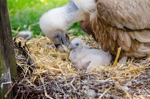 Vulture and Hatchling on Brown Nest