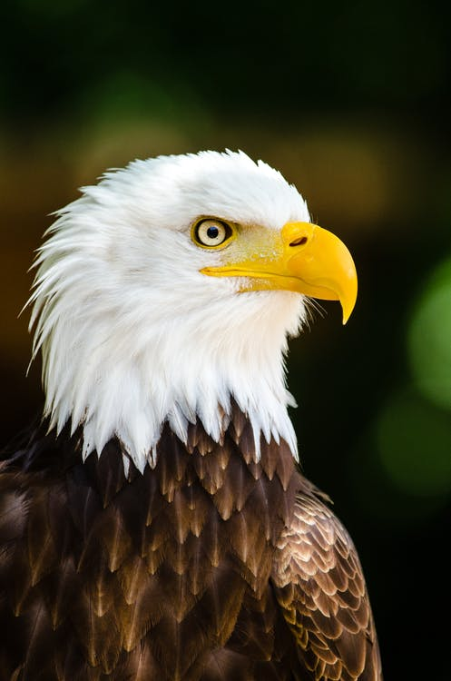 Close Up Photography of Bald Eagle