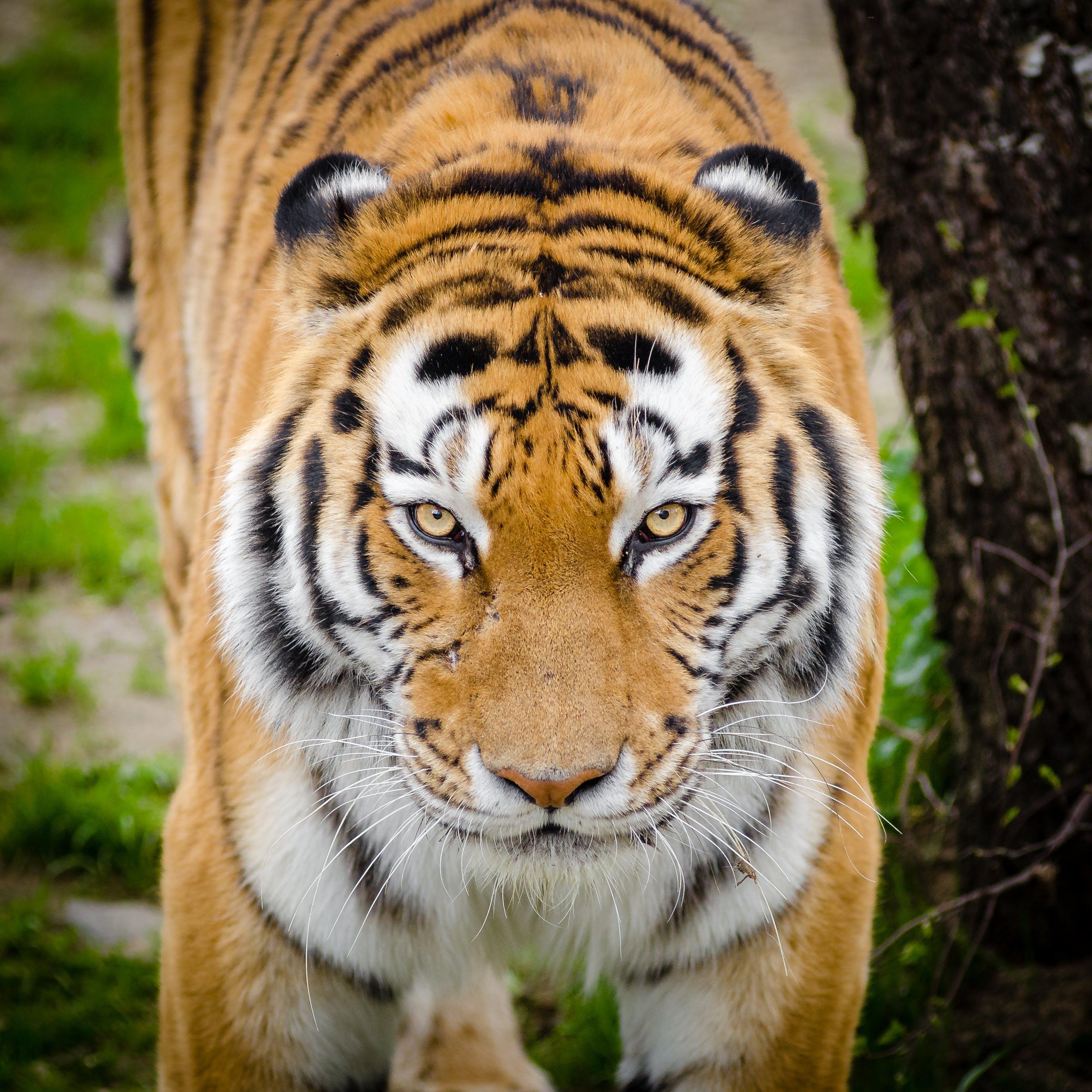 Tiger Beside Tree