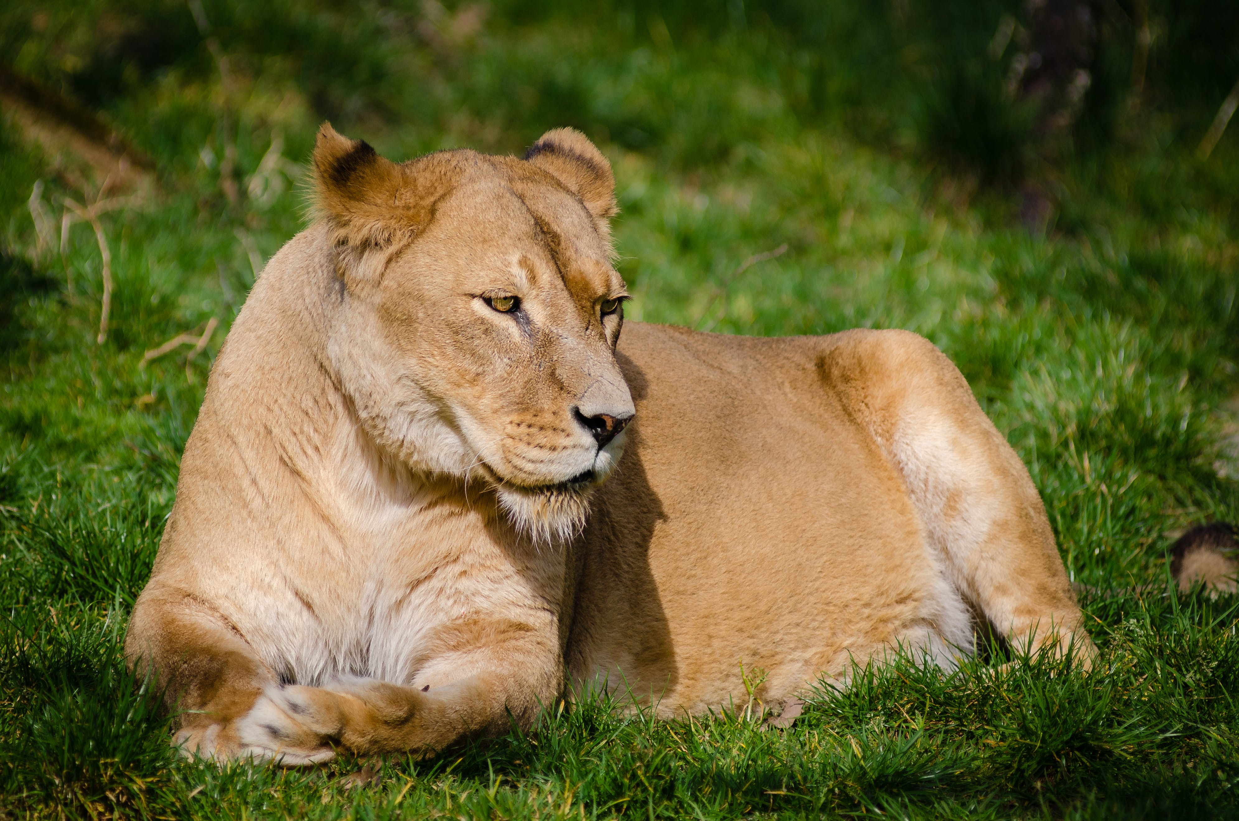 Brown Lioness Laying on Green Grass during Daytime