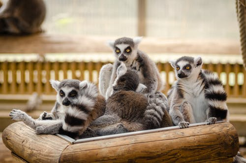Lemur on Wooden Railings