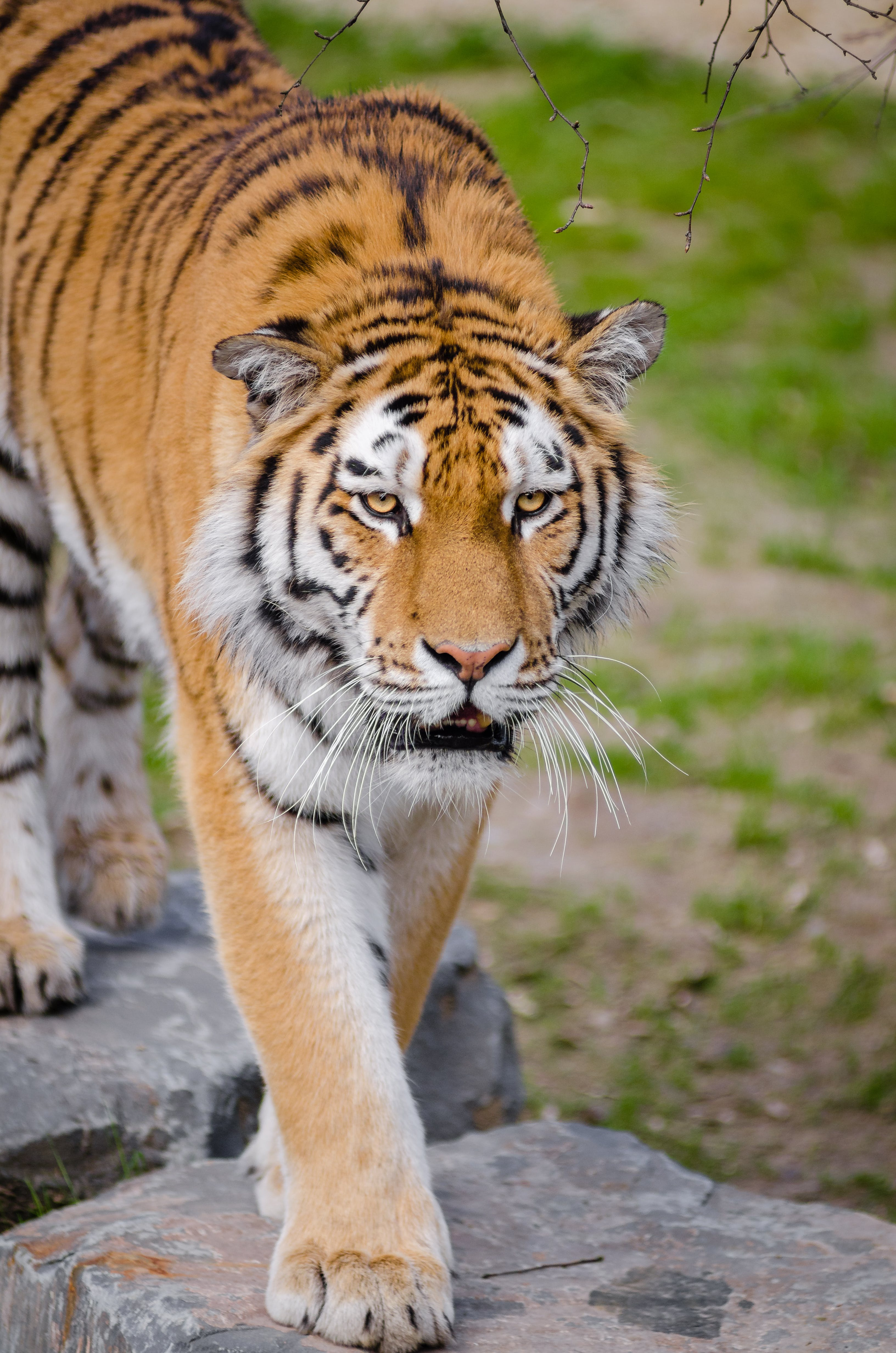 Shallow Focus Lens Photography of Tiger