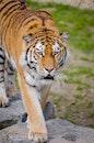animal, zoo, tiger