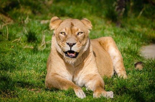 Ilmainen kuvapankkikuva tunnisteilla eläin, eläintarha, leijona, ruoho