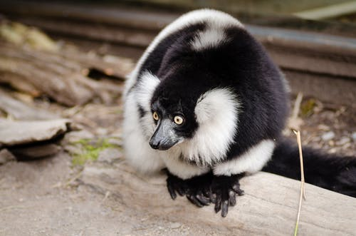 Close Up Photo of Black and White Lemur
