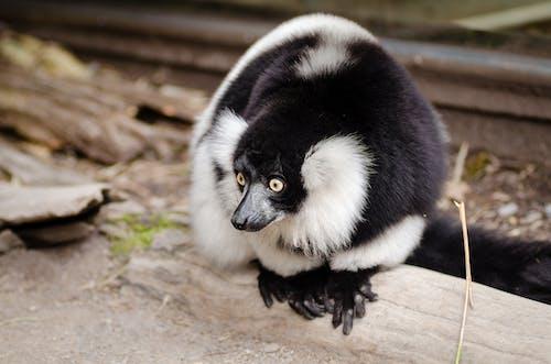 Gratis arkivbilde med dyr, dyrefotografering, dyreliv, lemur