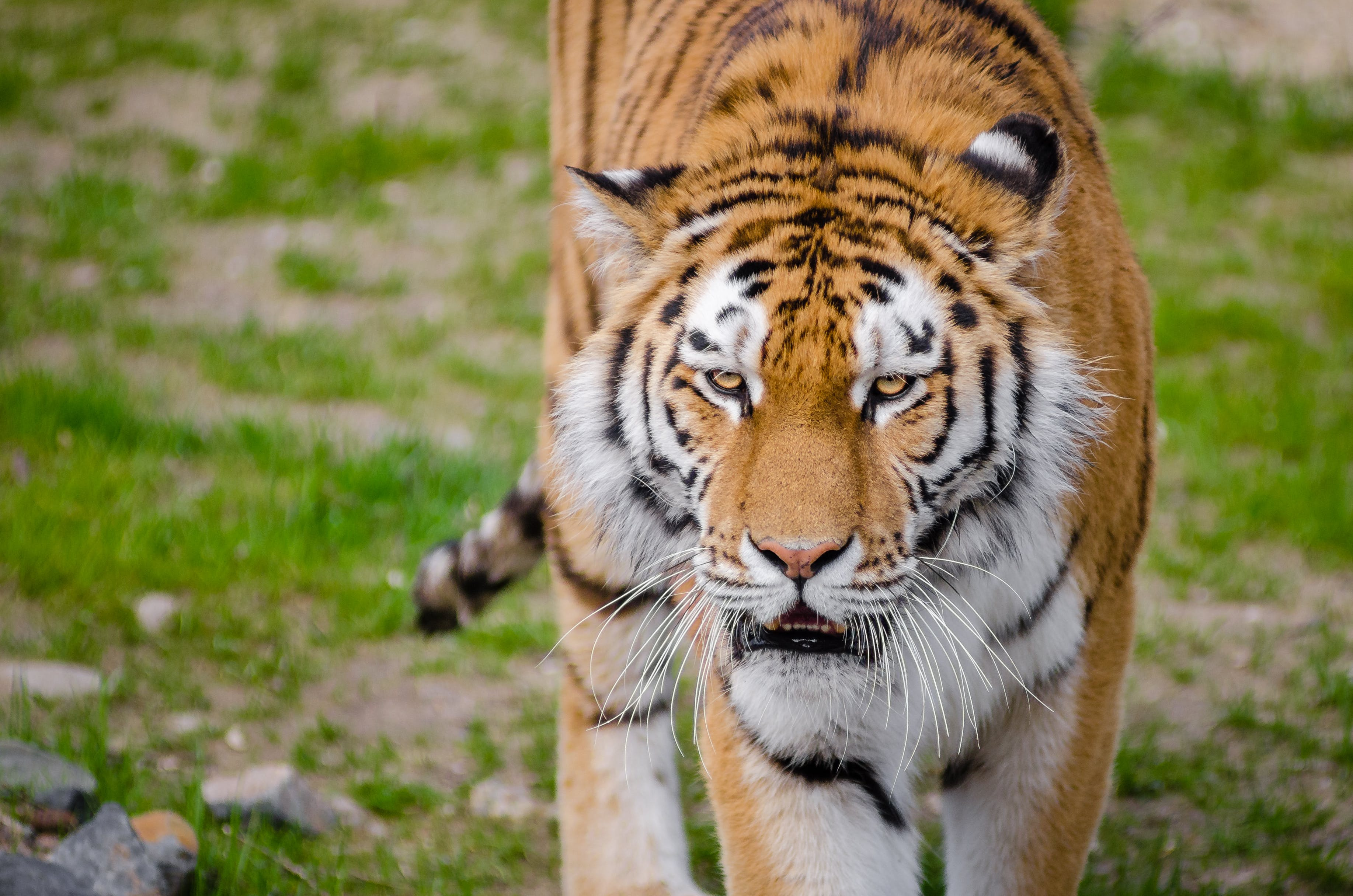 Tiger on Green Grass during Daytime