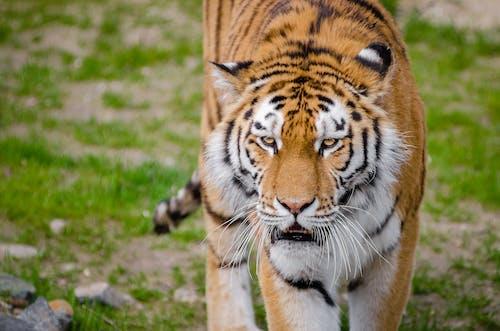 Kostnadsfri bild av djur, djurfotografi, vilda djur och växter, vildkatt