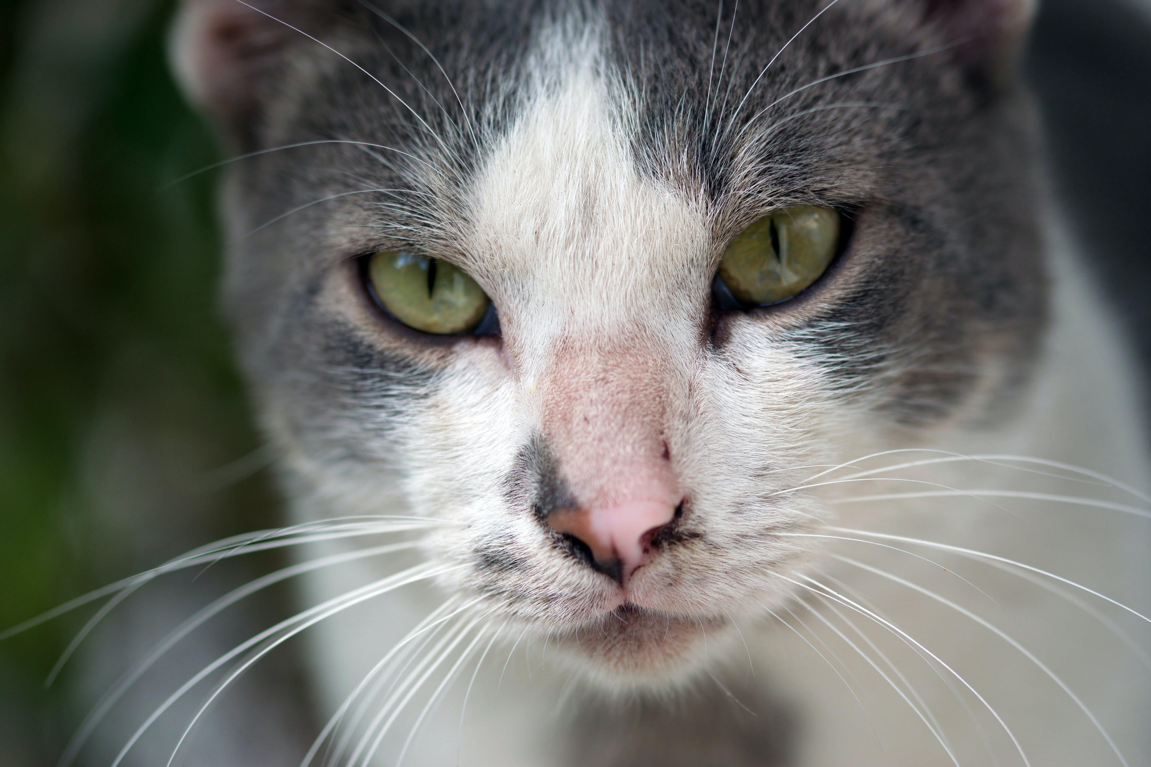 Kostenloses Stock Foto zu augen, bezaubernd, felidae, fokus