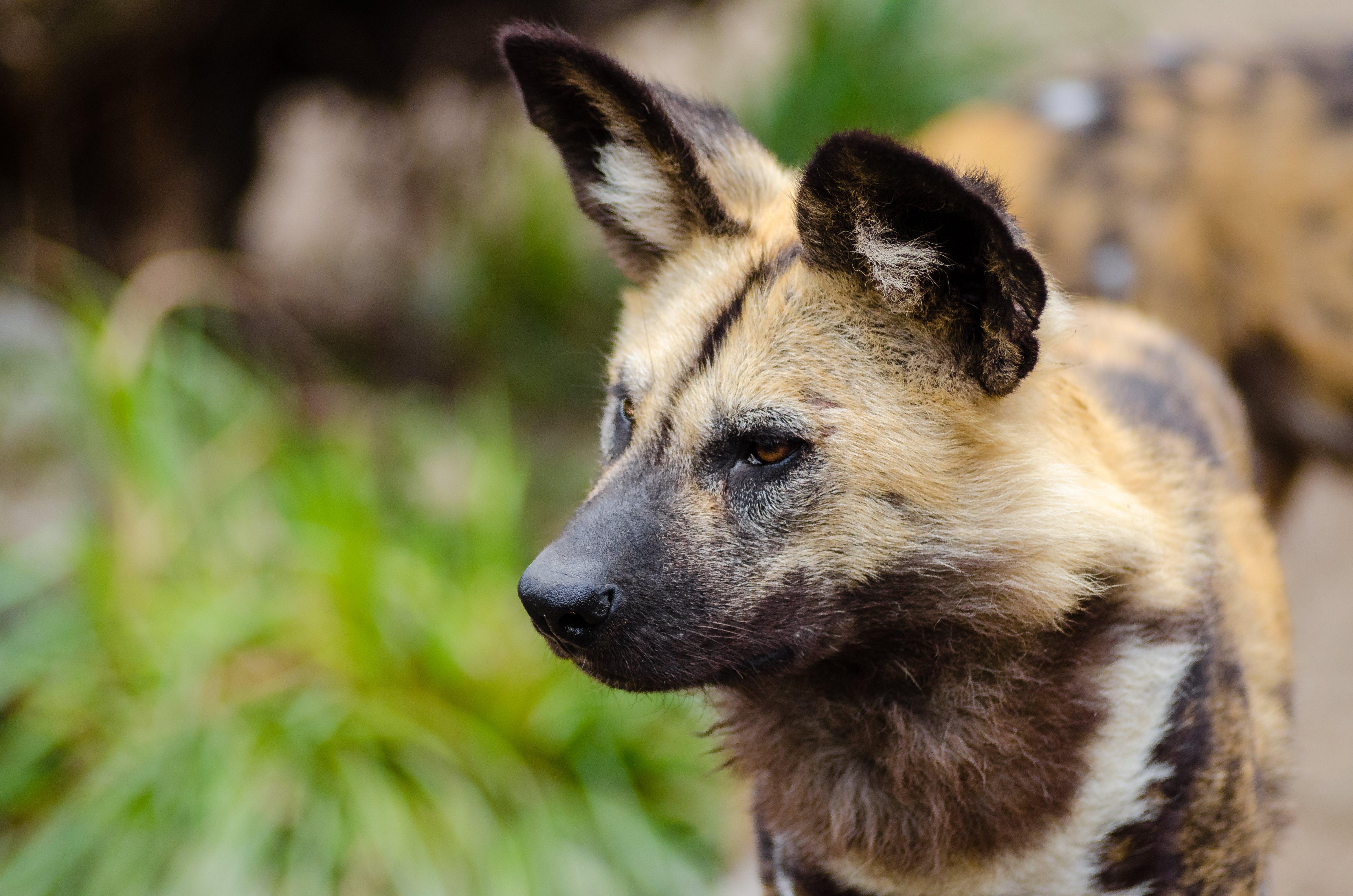 Безкоштовне стокове фото на тему «африканський дикий собака, великий план, вуса, вуха»