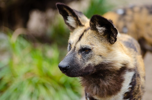 Close Up Photography of African Wild Dog