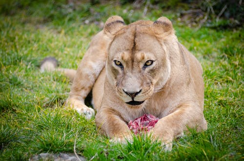 Lioness Lying on the Ground Closeup Photography