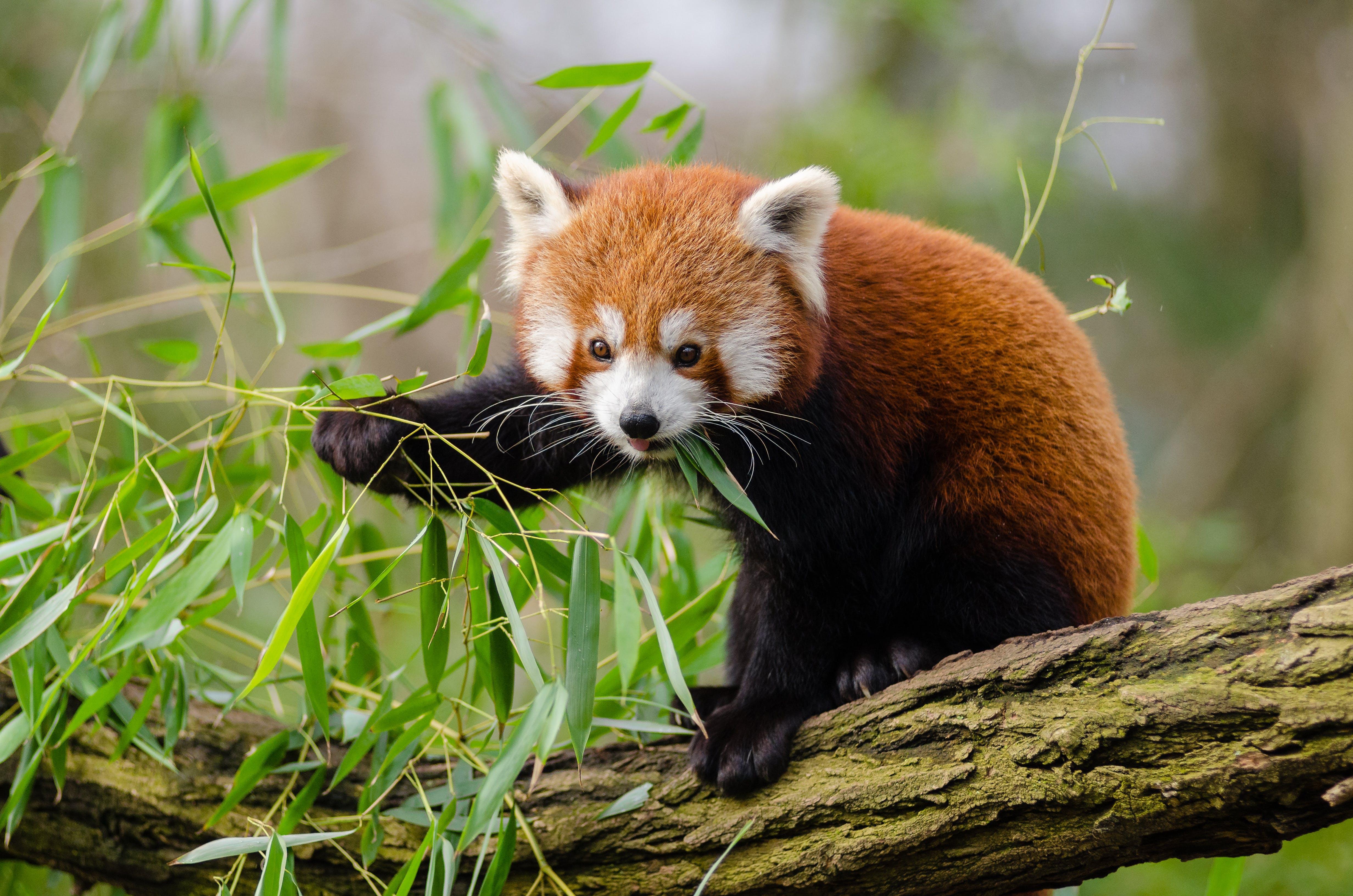 Red Panda Eating Green Leaf on Tree Branch during Daytime