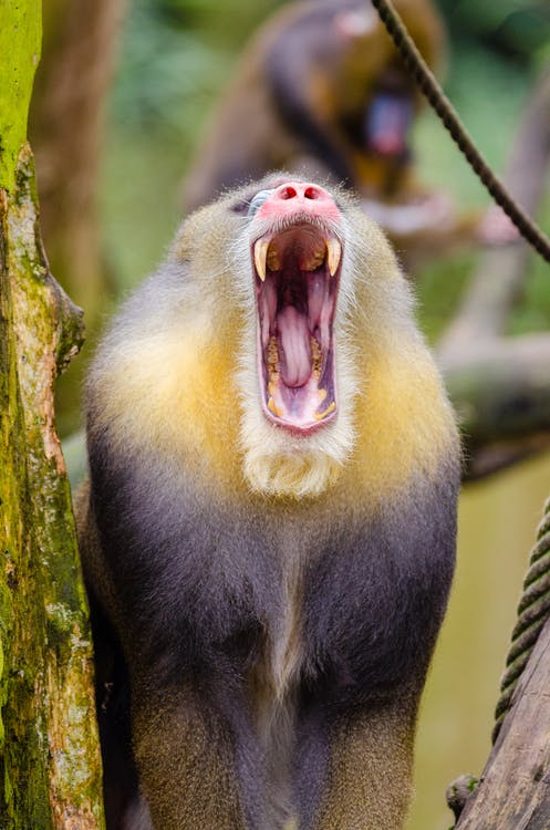 Yellow Black Baboon