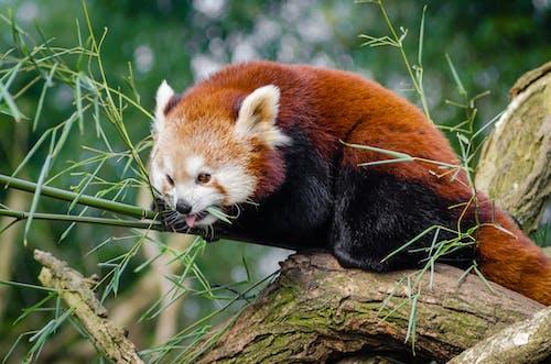 Red Panda on Bamboo Tree Branc