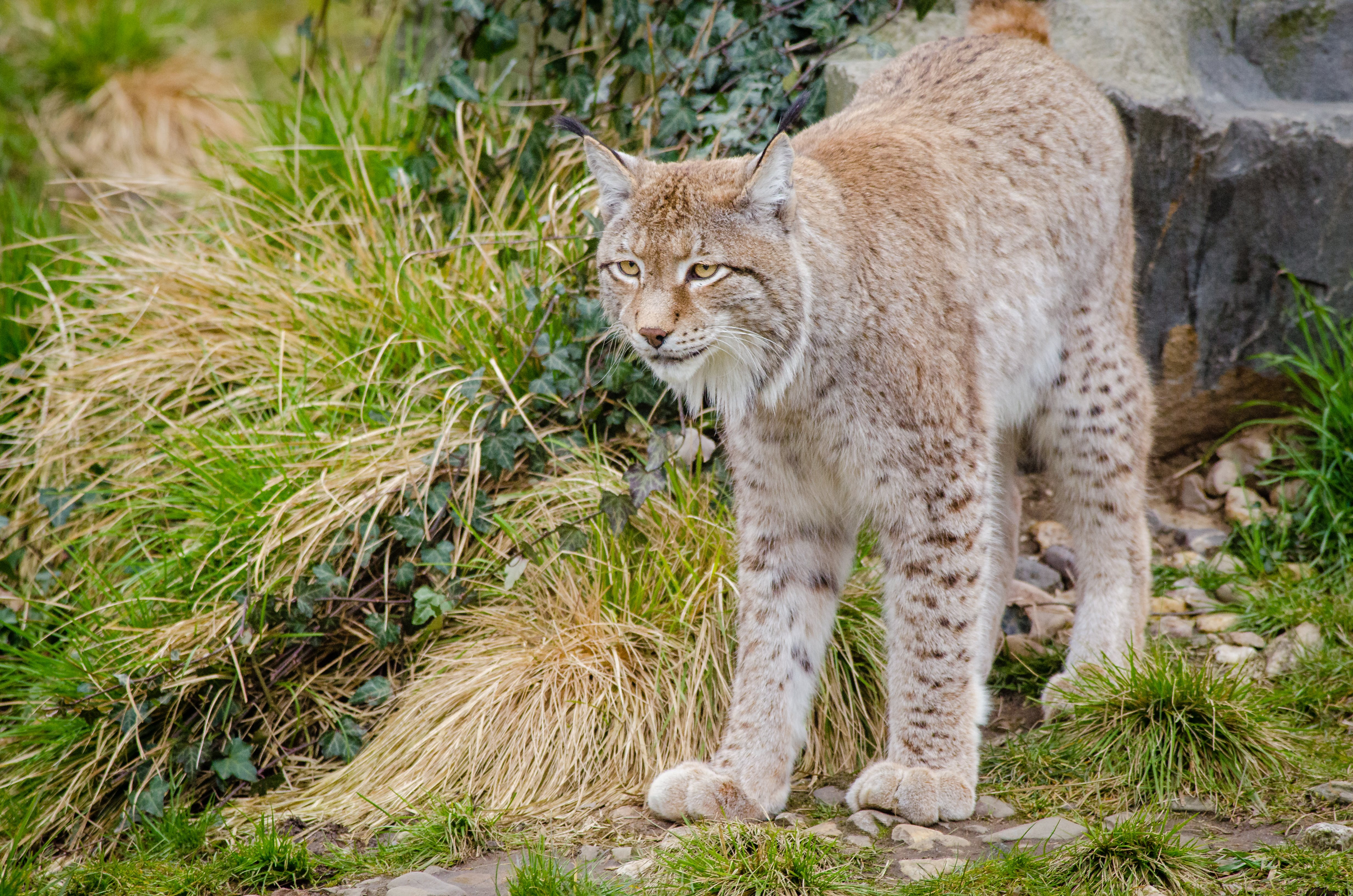 Lynx on Green Grass during Daytime