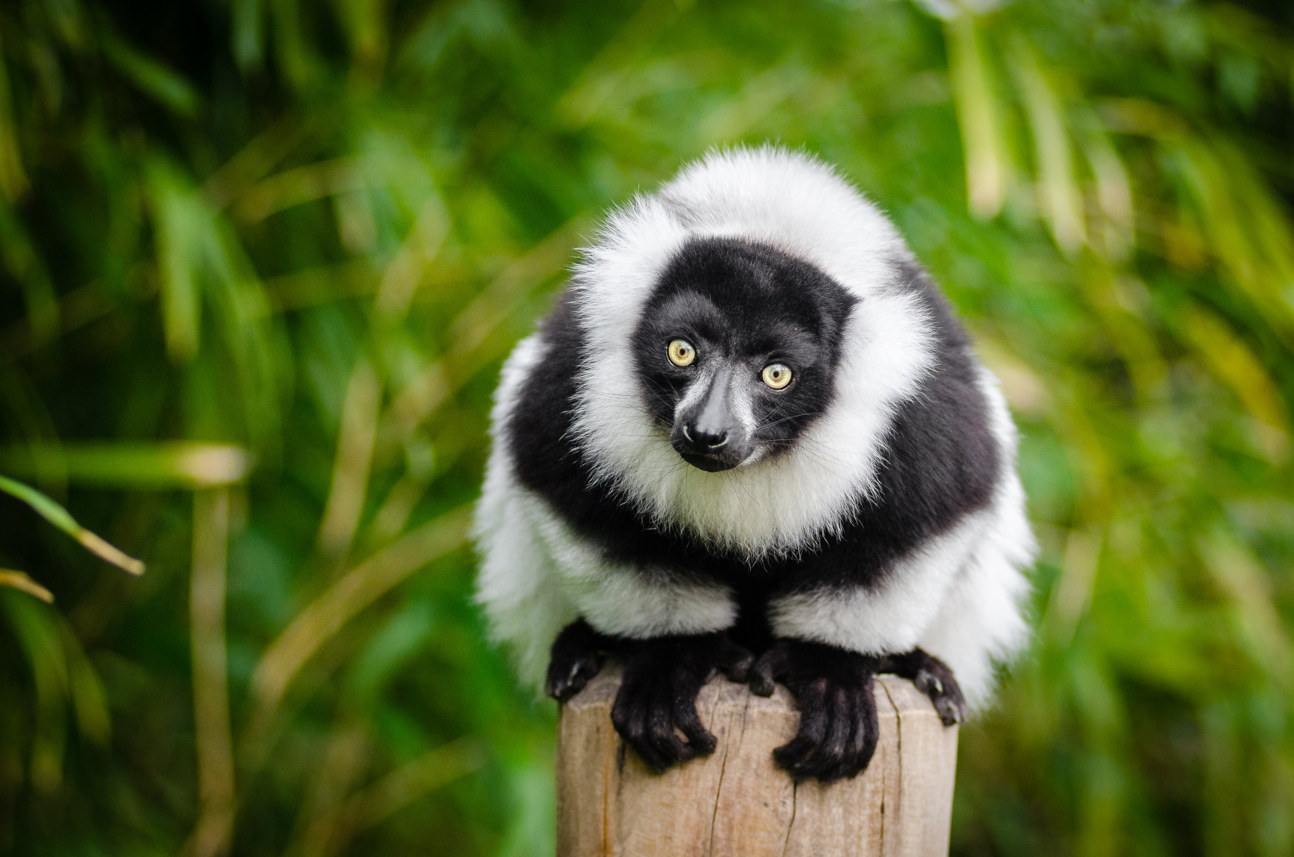 Selective Focus Photography of White and Black Lemur