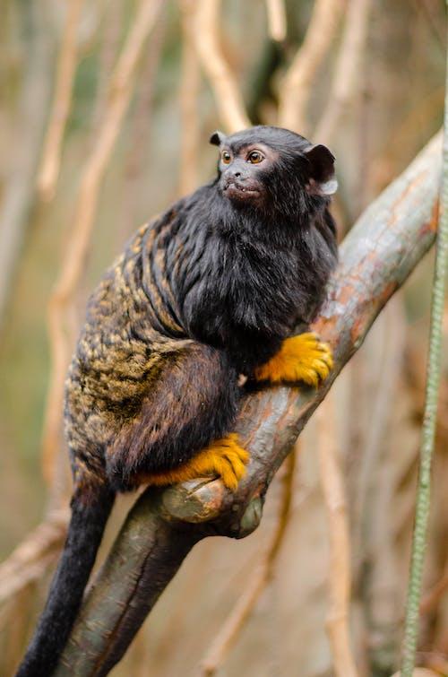 Gratis arkivbilde med ape, apekatt, dyr, dyrefotografering