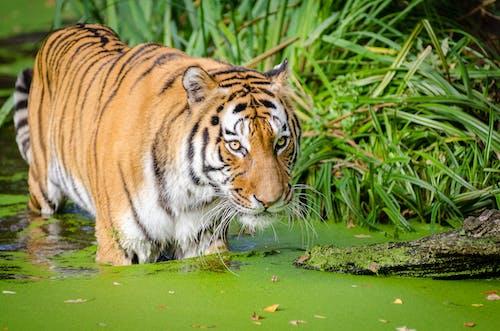 Tiger Walking on Pond Near Plants