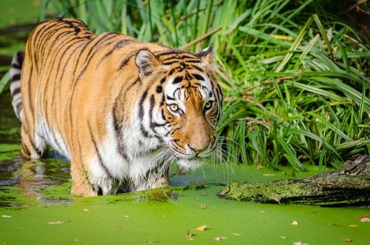 Tiger Walking on Pond Near Plants