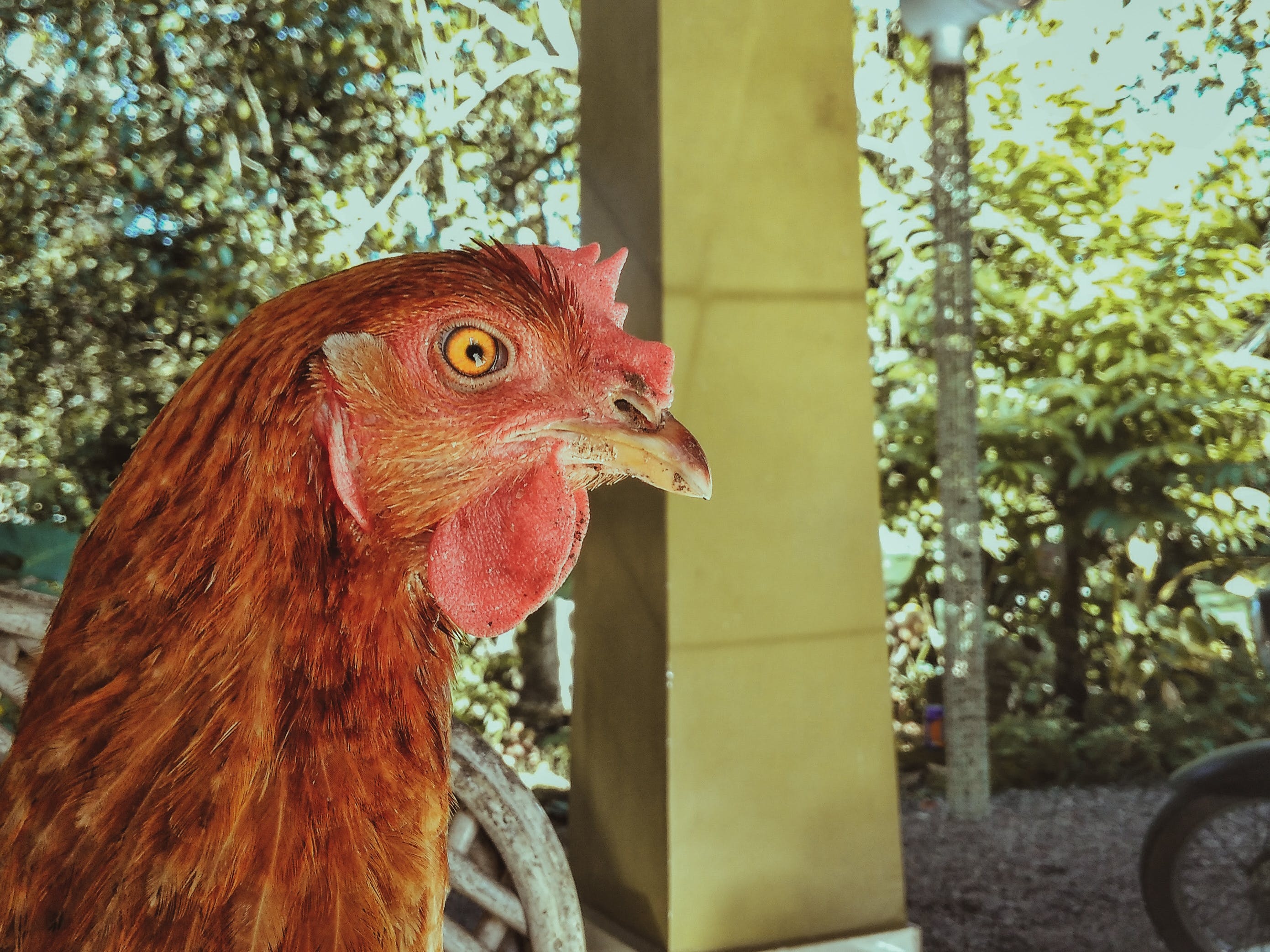Fotos de stock gratuitas de aves de corral, doméstico, enfoque selectivo, gallina
