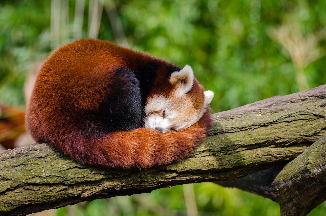 Red Panda Sleeping on Tree Branch