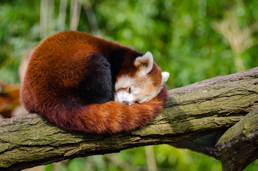 Red Panda Sleeping on Tree Branch
