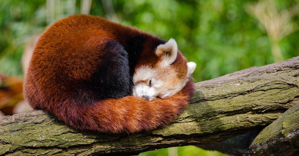 Red Panda Sleeping On Tree Branch Free Stock Photo